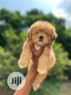 1-3 Month Female Purebred Lhasa Apso | Dogs & Puppies for sale in Lagos State, Isolo