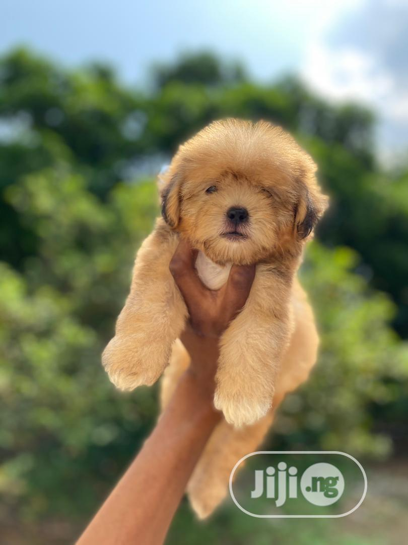 1-3 Month Female Purebred Lhasa Apso | Dogs & Puppies for sale in Isolo, Lagos State, Nigeria