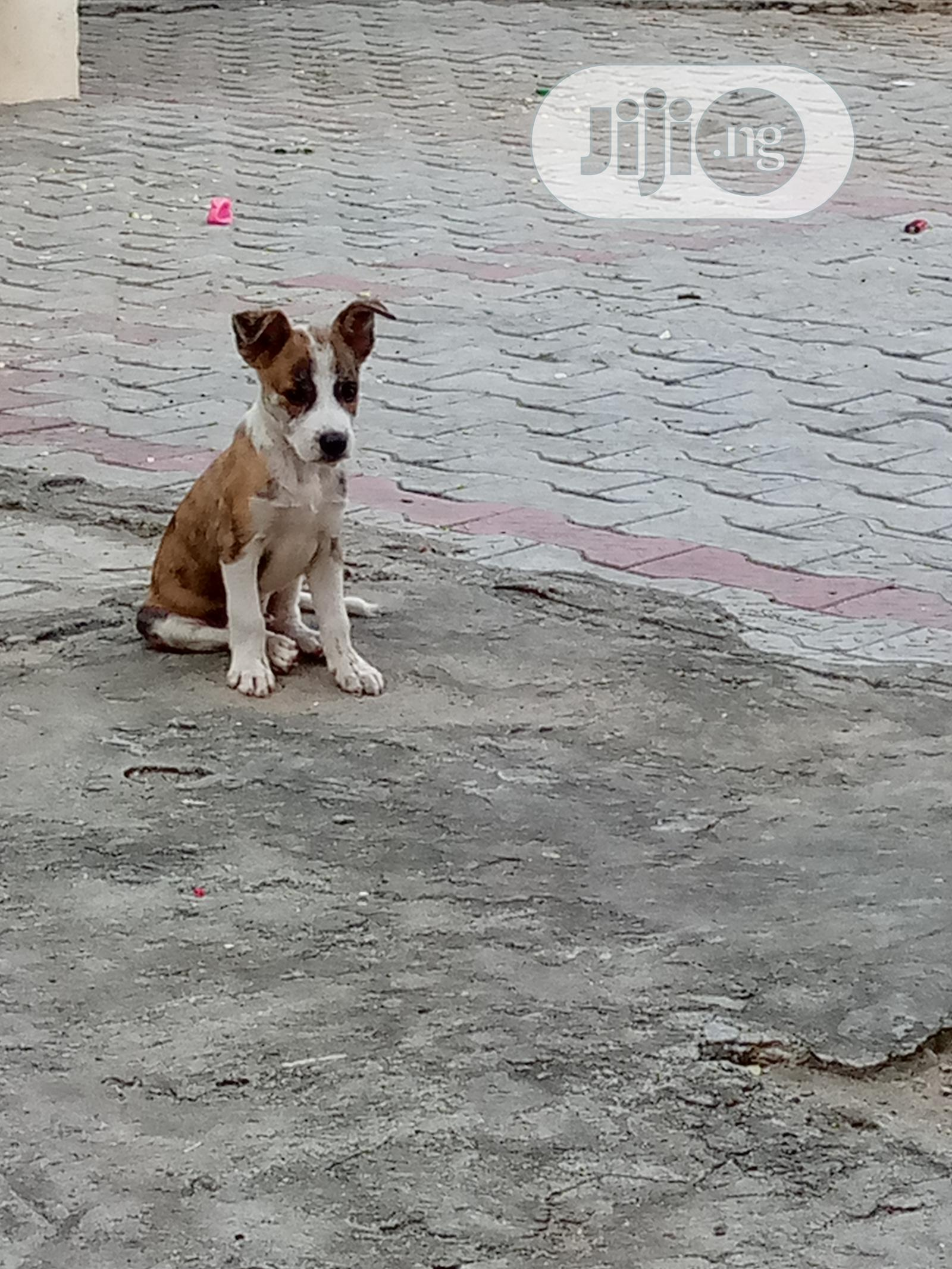 Archive: 1-3 month Male Mixed Breed Jack Russell Terrier