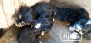 1-3 Month Female Purebred Lhasa Apso | Dogs & Puppies for sale in Abuja (FCT) State, Nyanya
