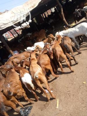 Livestock, Goat, Cow, Ram   Livestock & Poultry for sale in Enugu State, Enugu