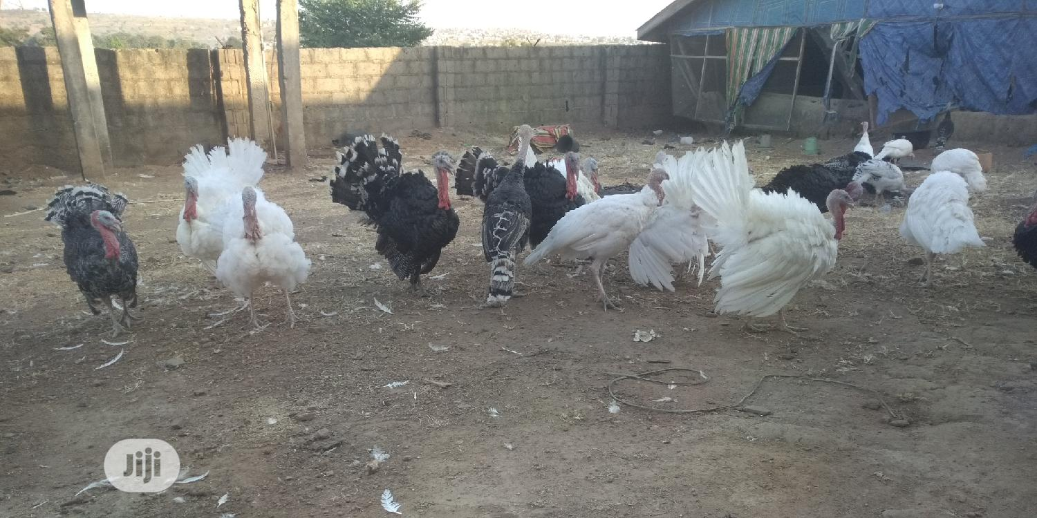 Archive: Local Mature Turkey For Sale