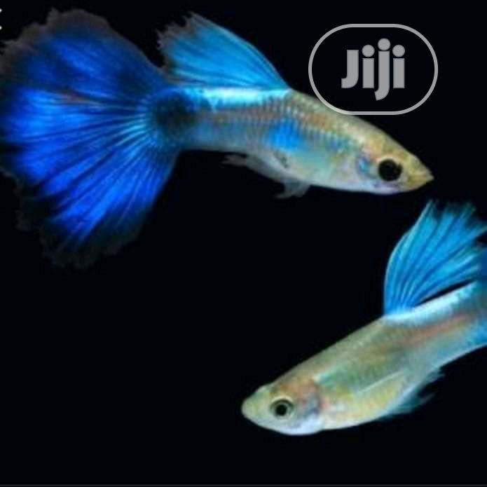 Japanese Guppies Fish