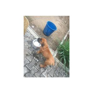 3-6 month Male Purebred Boerboel   Dogs & Puppies for sale in Lagos State, Ejigbo