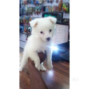 1-3 month Male Purebred American Eskimo | Dogs & Puppies for sale in Lagos State, Ejigbo