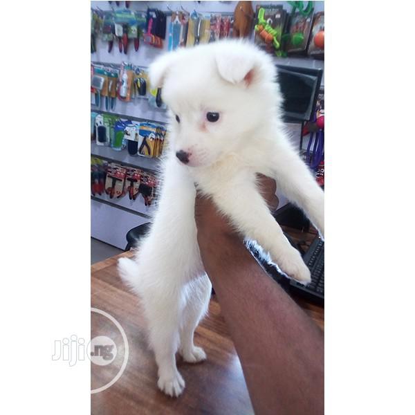1-3 month Male Purebred American Eskimo | Dogs & Puppies for sale in Ejigbo, Lagos State, Nigeria