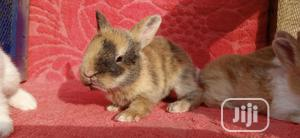 Harlequin Rabbit Kit (Buck And 4weeks Old Here) | Livestock & Poultry for sale in Lagos State, Ifako-Ijaiye