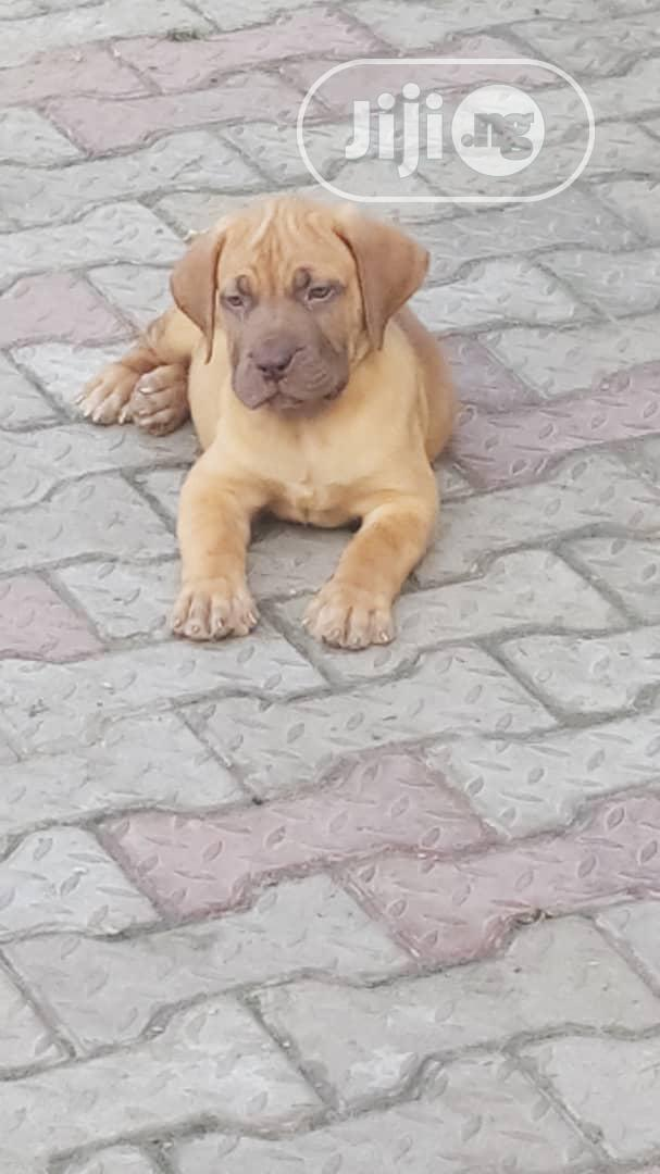 1-3 Month Male Purebred Boerboel | Dogs & Puppies for sale in Ajah, Lagos State, Nigeria
