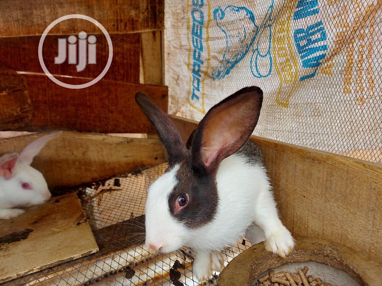 Archive: Dutch Grower Rabbit