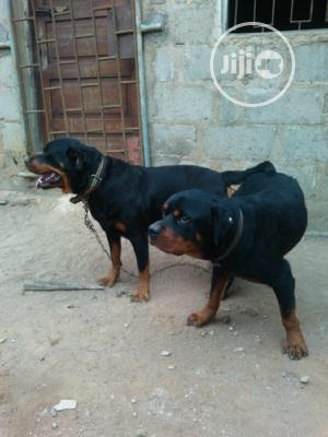 1-3 Month Male Purebred Rottweiler | Dogs & Puppies for sale in Ogun State, Ado-Odo/Ota