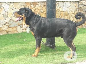 1+ Year Male Purebred Rottweiler | Dogs & Puppies for sale in Lagos State, Ojodu