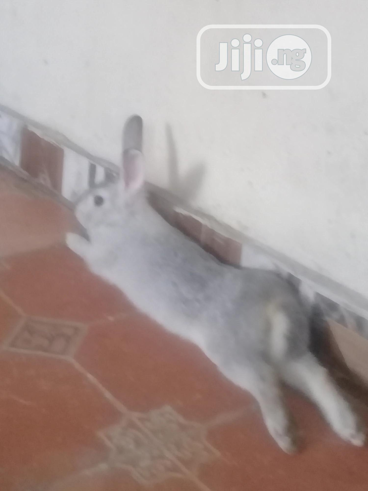 Adult Male Chinchilla Ready For Mating | Livestock & Poultry for sale in Warri, Delta State, Nigeria