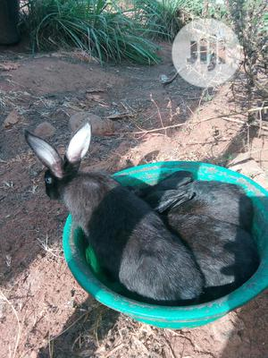 Quality Rabbits   Livestock & Poultry for sale in Anambra State, Nnewi