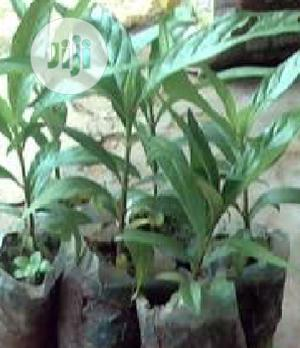 Noni Plant Seedling | Feeds, Supplements & Seeds for sale in Oyo State, Ibadan