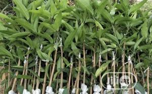 Grafted Mango Seedling (Dwarf, Hybrid) | Feeds, Supplements & Seeds for sale in Oyo State, Ibadan