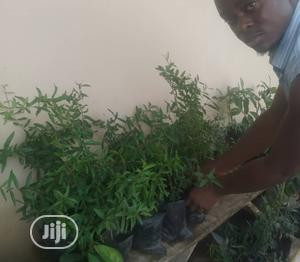Hybrid Pomegranate Seedling | Feeds, Supplements & Seeds for sale in Oyo State, Ibadan