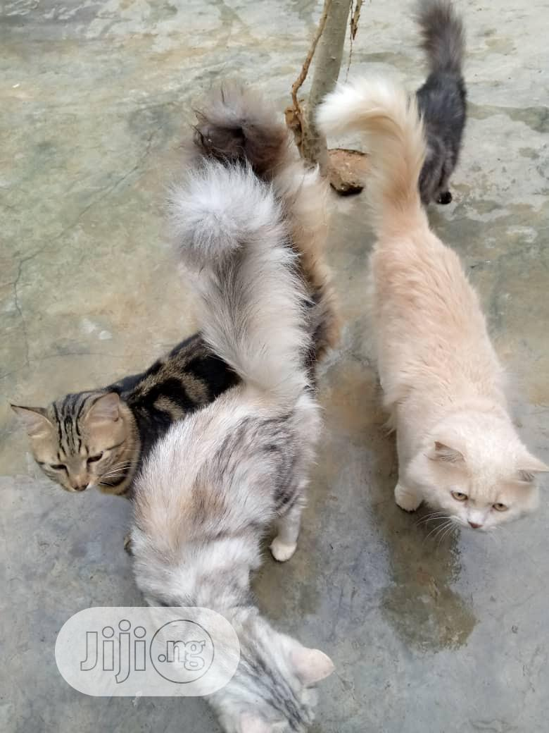 1-3 month Female Purebred Persian | Cats & Kittens for sale in Ikorodu, Lagos State, Nigeria