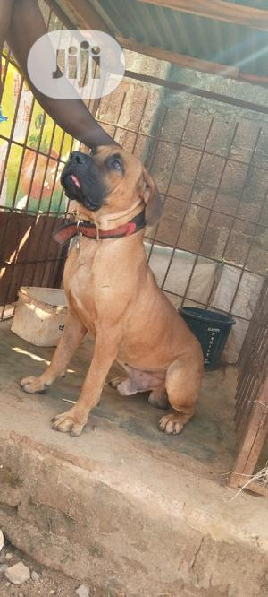 1+ year Male Purebred Boerboel | Dogs & Puppies for sale in Oyo State, Ido