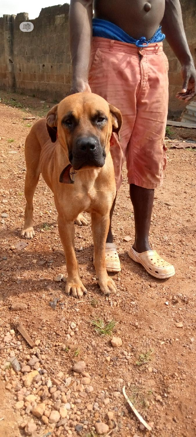 1+ year Male Purebred Boerboel