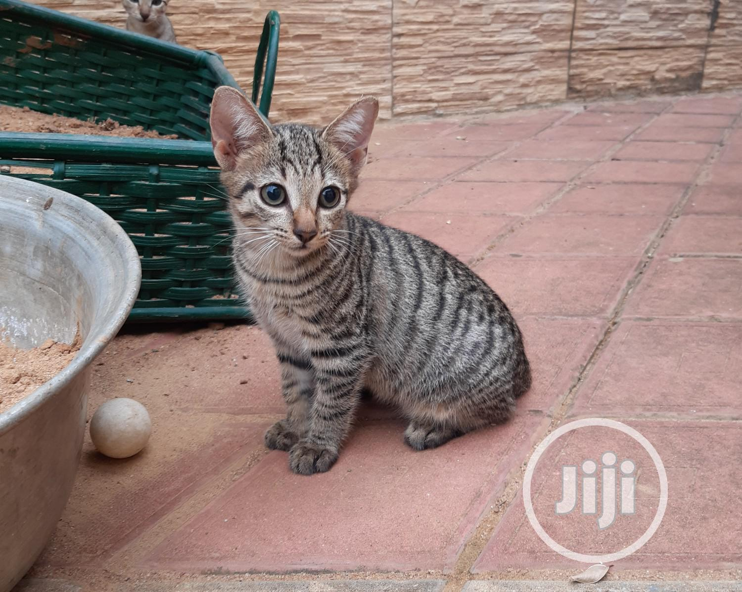 1-3 month Male Purebred American Shorthair