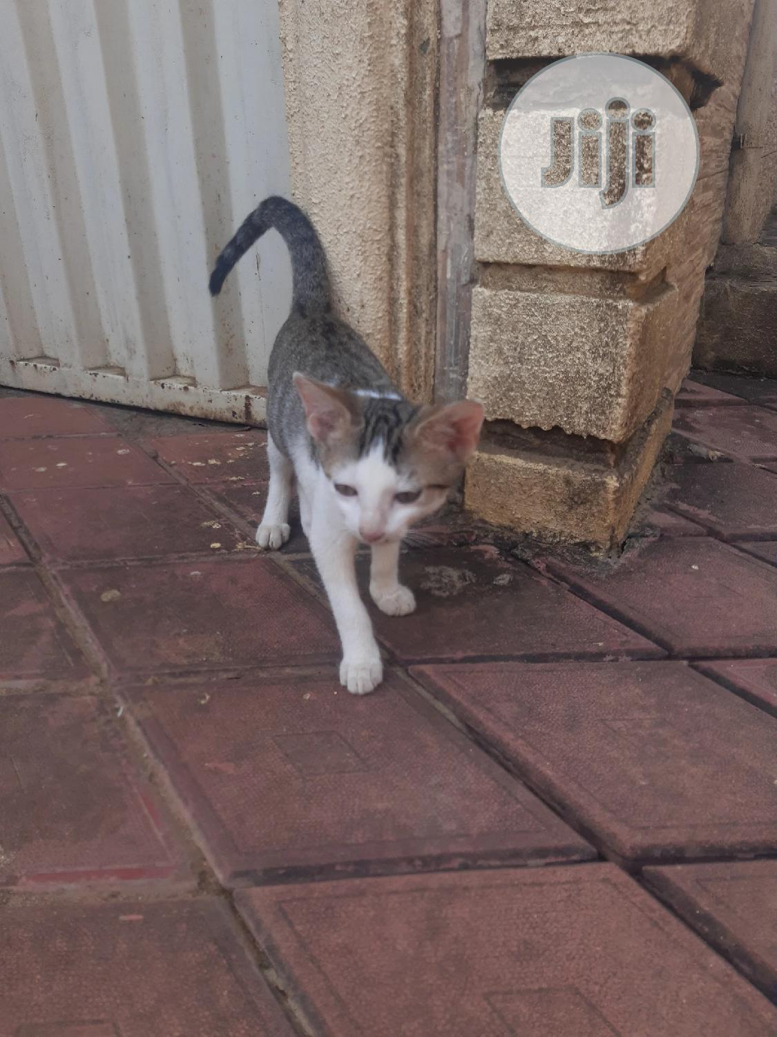 1-3 month Male Purebred American Shorthair | Cats & Kittens for sale in Ikorodu, Lagos State, Nigeria