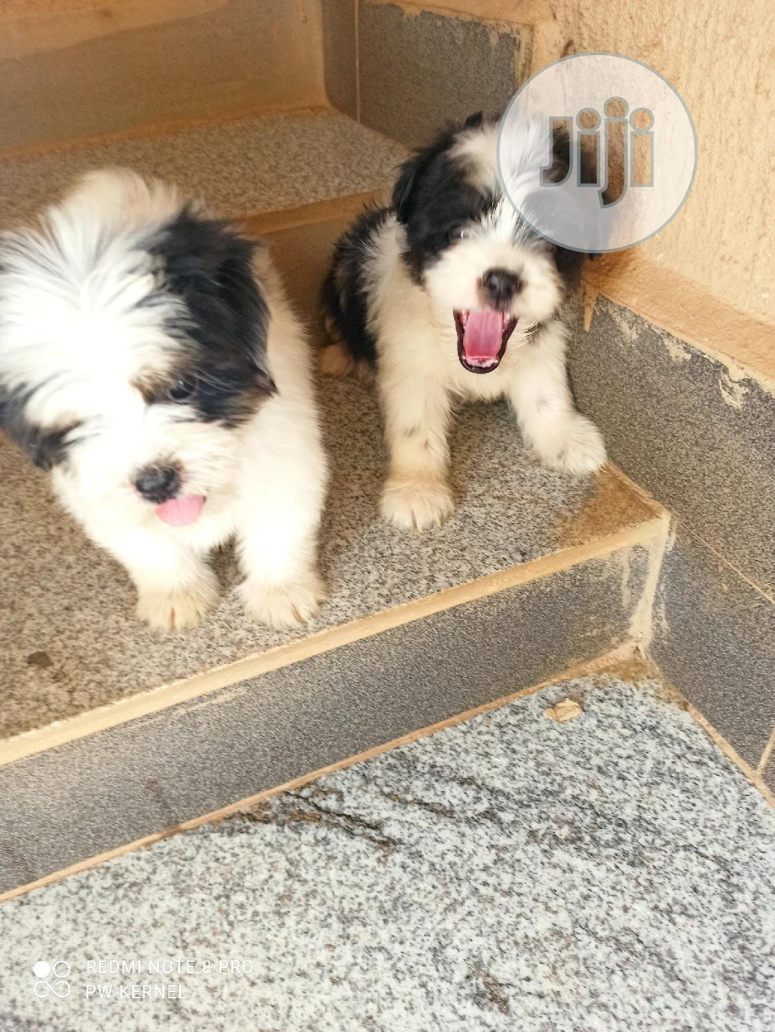 1-3 Month Female Purebred Lhasa Apso | Dogs & Puppies for sale in Lokogoma, Abuja (FCT) State, Nigeria