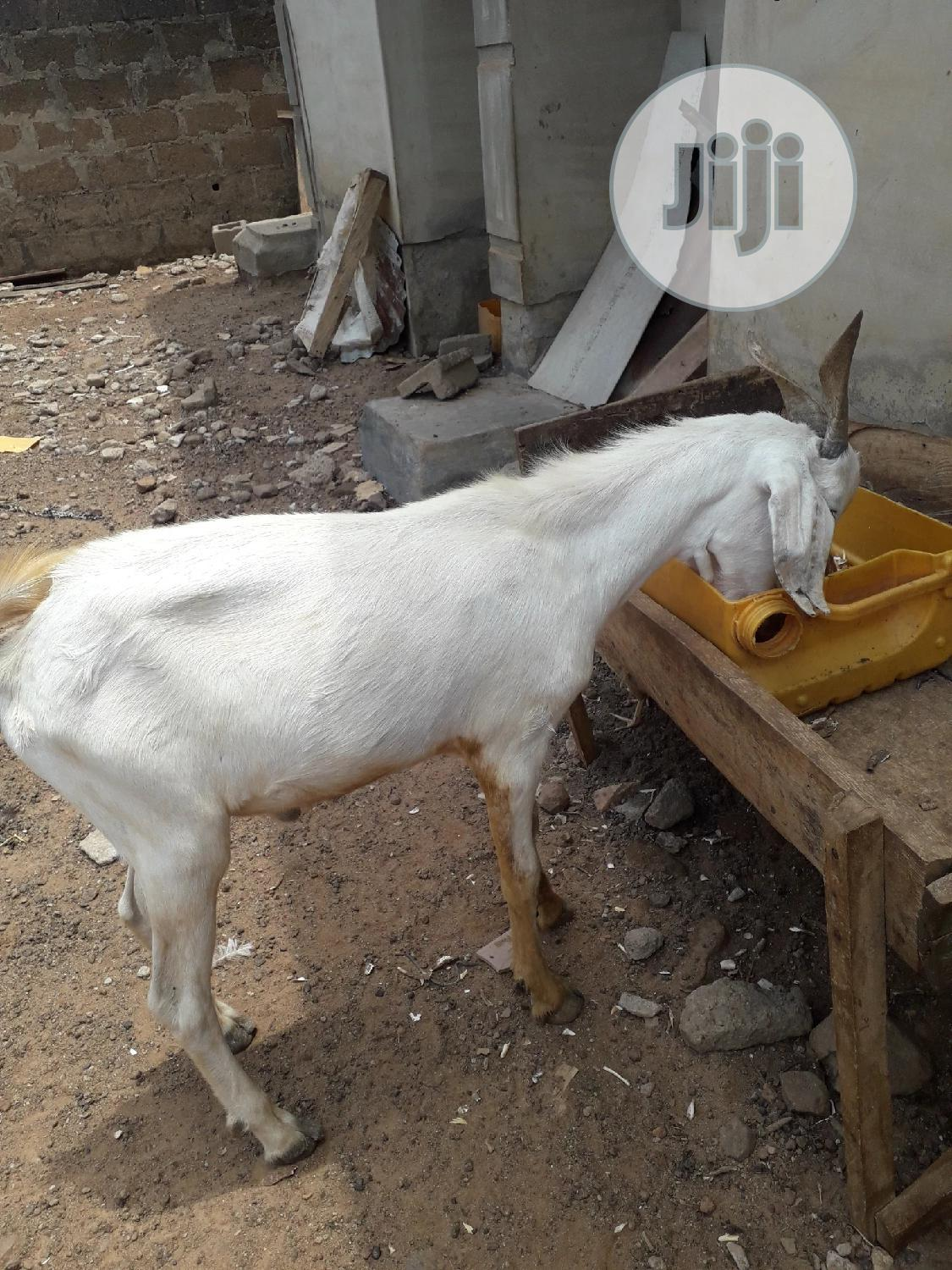 Archive: Local And Imported Goats