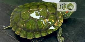 Green Turtle | Reptiles for sale in Lagos State, Lekki