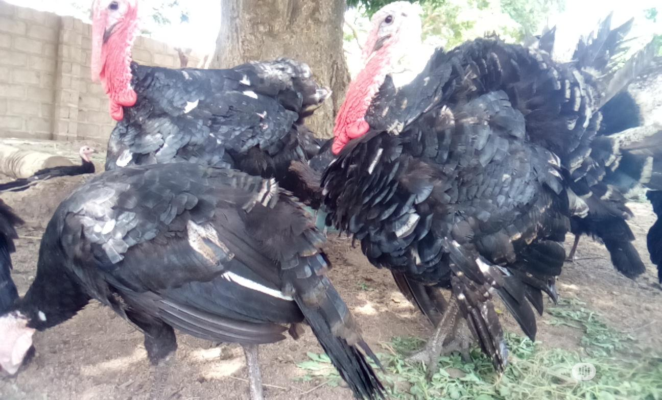 Adult And Young Turkeys Are Available In Jahland Animal Farm | Livestock & Poultry for sale in Nyanya, Abuja (FCT) State, Nigeria