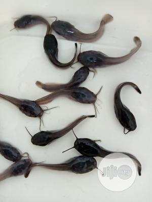Fast Growing Mozambique Dutch Catfish Fingerlings, And Post. | Livestock & Poultry for sale in Rivers State, Port-Harcourt