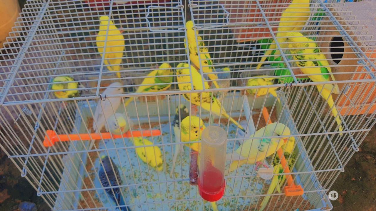 Budgie Parrot For Sale