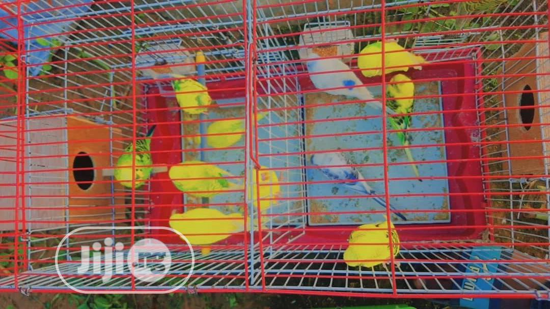 Budgie Parrot For Sale | Birds for sale in Alimosho, Lagos State, Nigeria