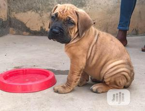 3-6 month Female Purebred Boerboel | Dogs & Puppies for sale in Lagos State, Abule Egba