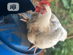 Broilers Available At Wholesale | Livestock & Poultry for sale in Ogun State, Obafemi-Owode
