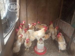 Cockerel Chicken Available For Sale | Livestock & Poultry for sale in Lagos State, Ikorodu