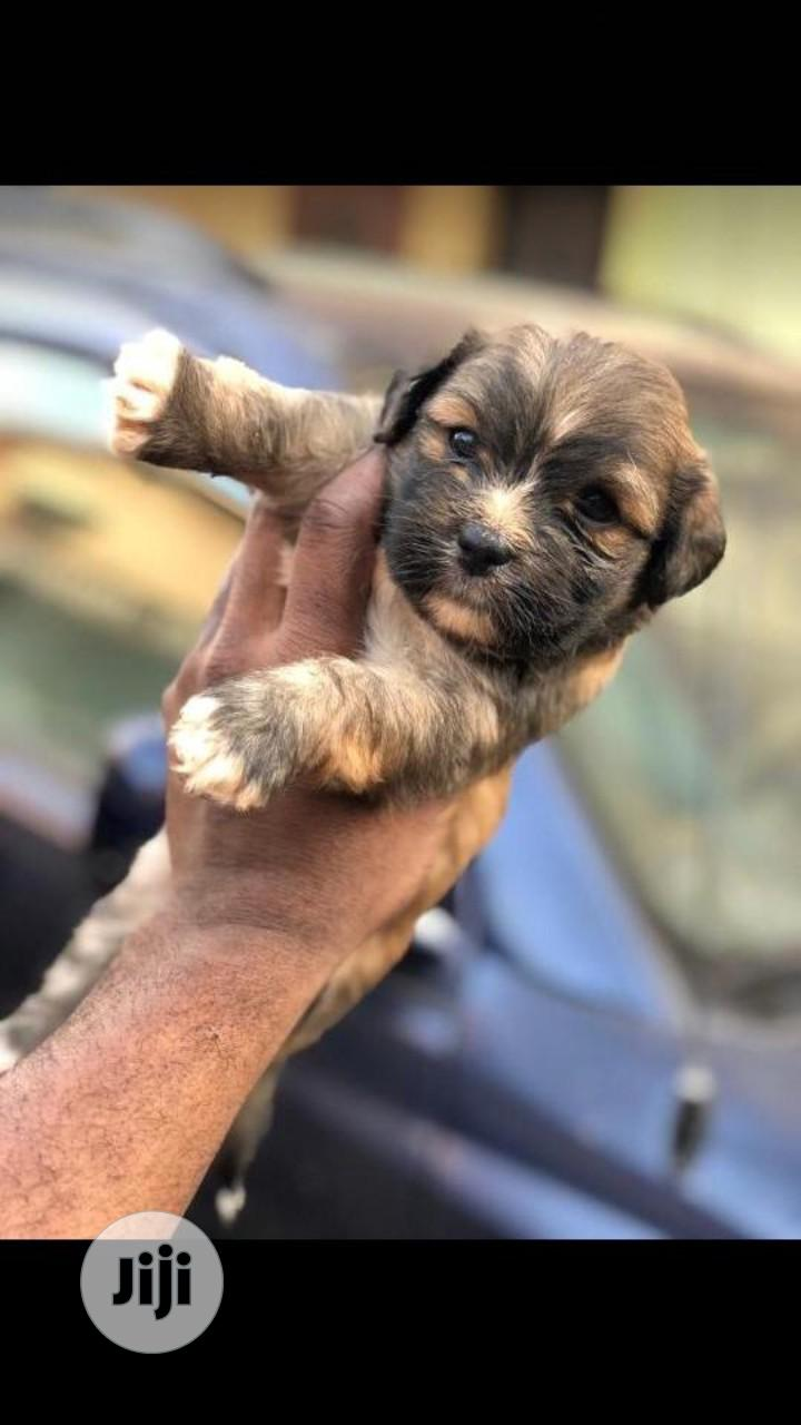 1-3 Month Male Purebred Lhasa Apso | Dogs & Puppies for sale in Abule Egba, Lagos State, Nigeria