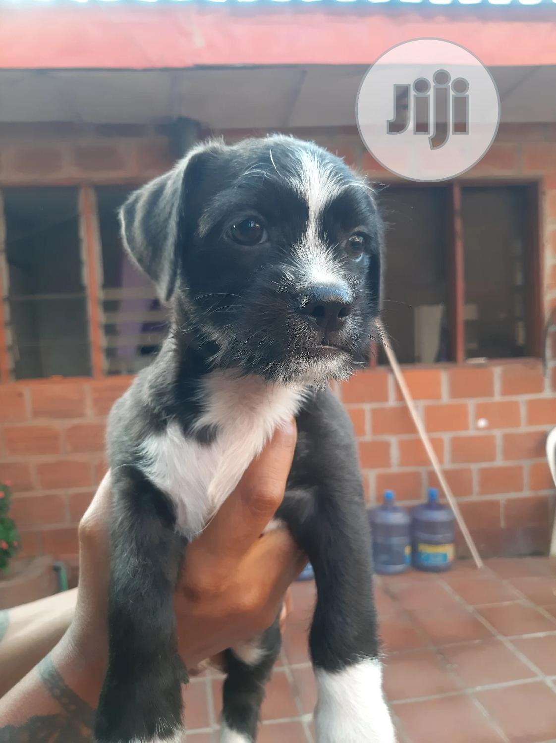 3-6 month Male Mixed Breed Lhasa Apso | Dogs & Puppies for sale in Ikeja, Lagos State, Nigeria