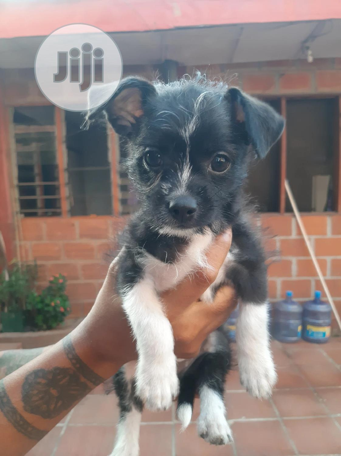 3-6 month Male Mixed Breed Lhasa Apso