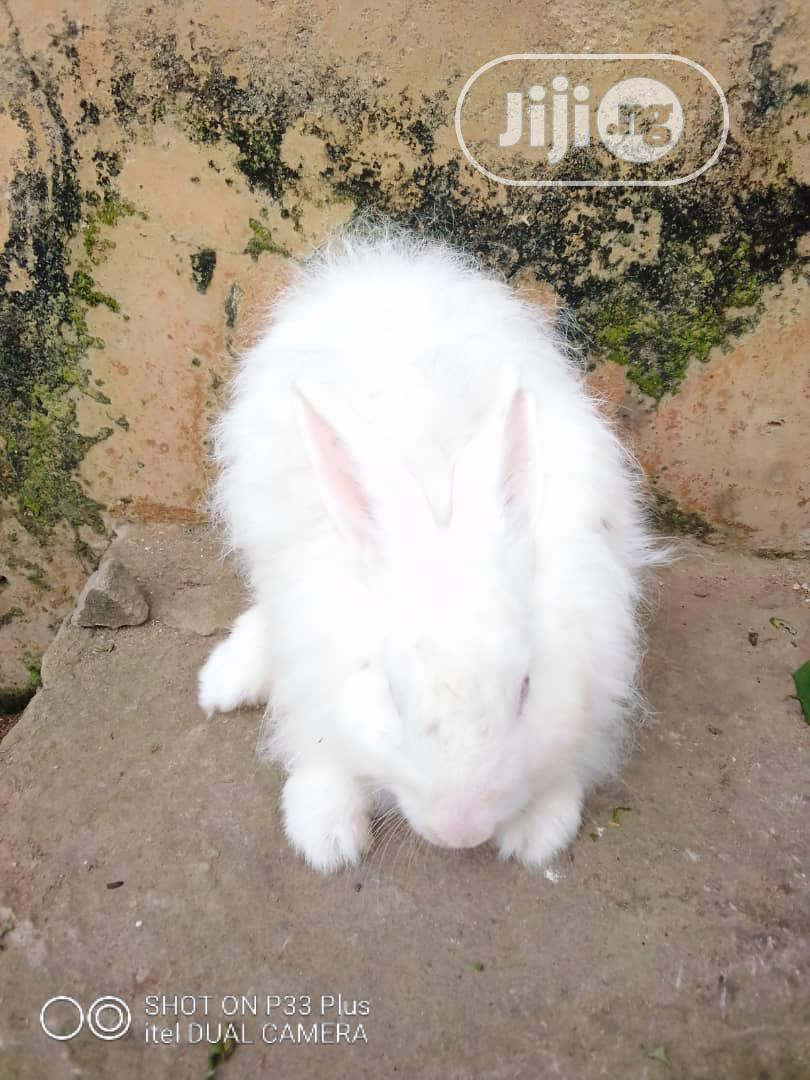 Pure Breed Of Angora For Sell