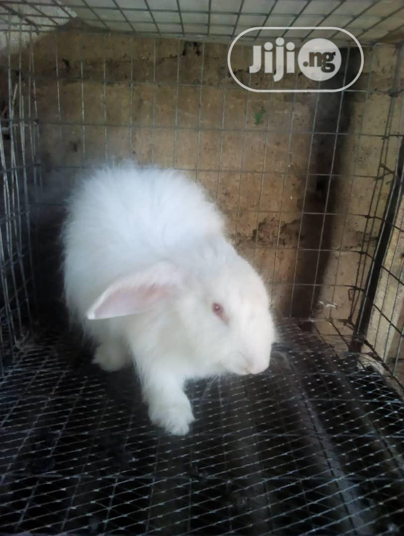 Pure Breed Of Angora For Sell   Livestock & Poultry for sale in Osogbo, Osun State, Nigeria