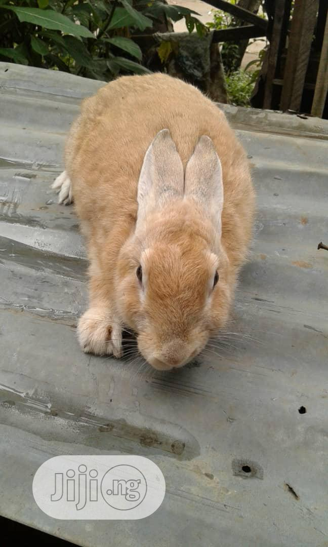 Pure Panomeno Rabbit Breed For Sell