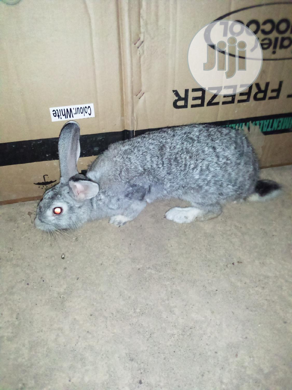 Pure American Chinchilla Rabbit Breed