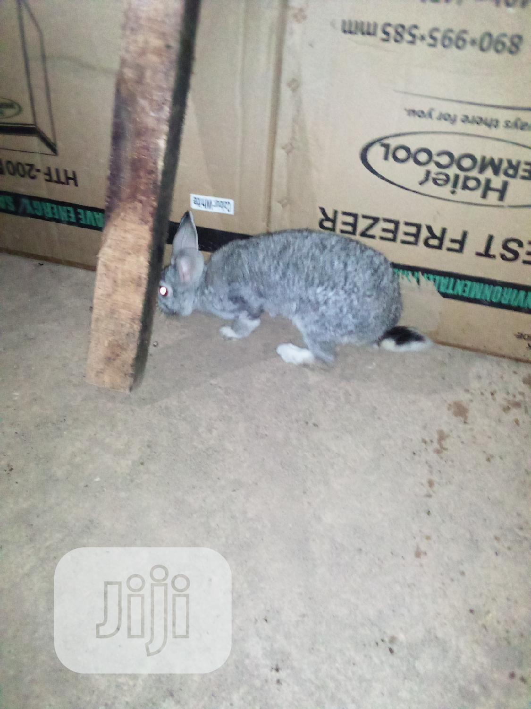 Pure American Chinchilla Rabbit Breed | Livestock & Poultry for sale in Osogbo, Osun State, Nigeria