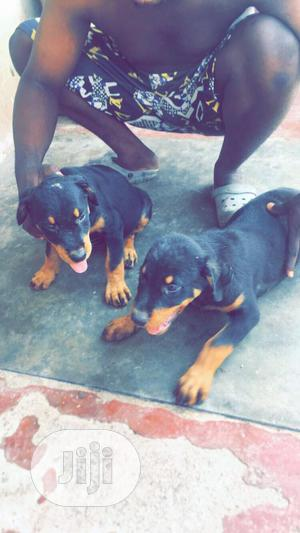 3-6 Month Male Purebred Rottweiler   Dogs & Puppies for sale in Osun State, Iwo