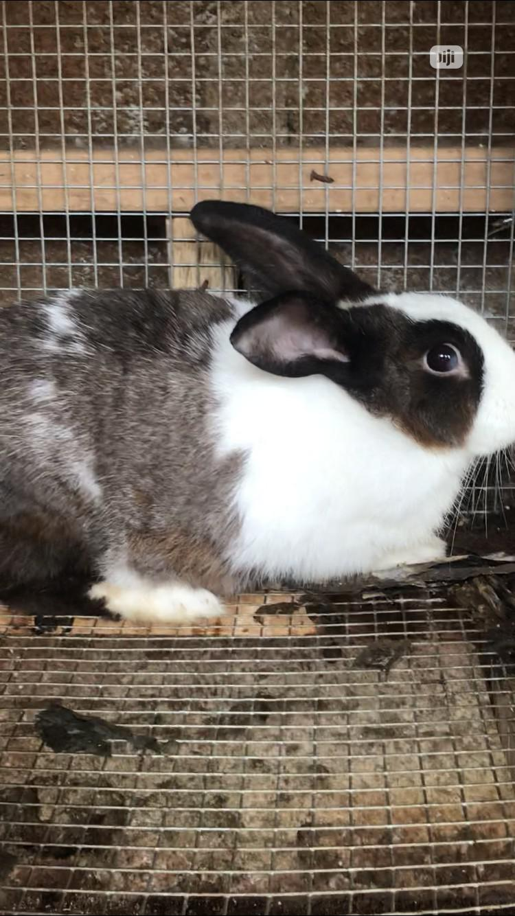 Archive: Adult Giant Rabbit For Sale