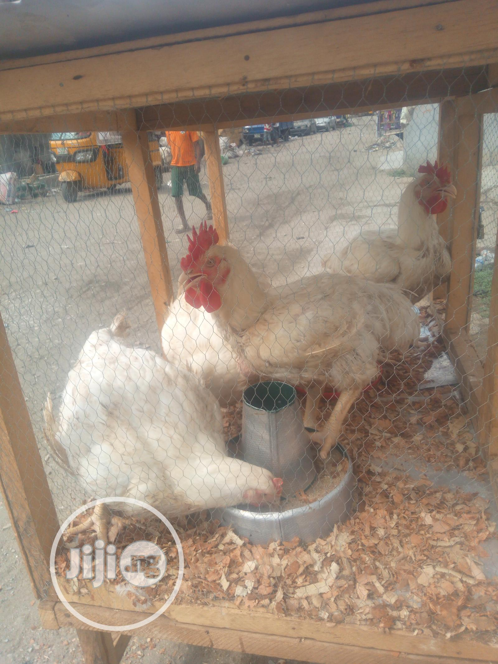 Archive: Giant Broiler Chickens 4kg
