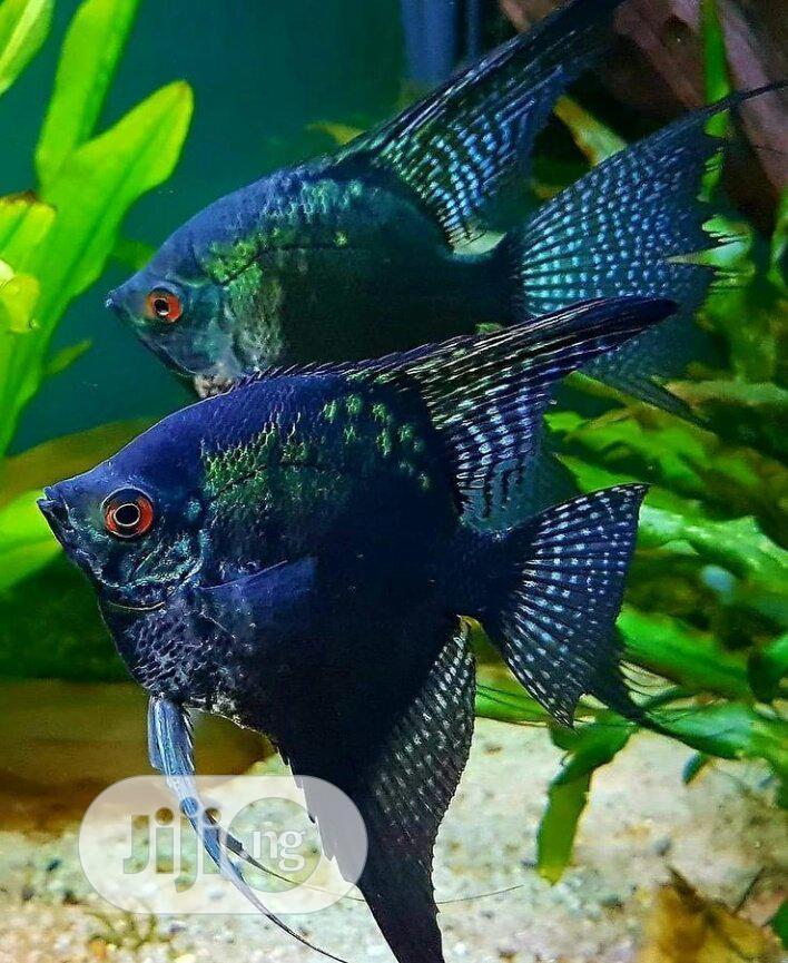 Archive: Goldfish And Aquarium Fishes