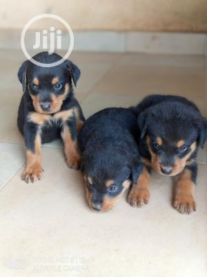 1-3 month Male Purebred Rottweiler   Dogs & Puppies for sale in Kwara State, Ilorin South