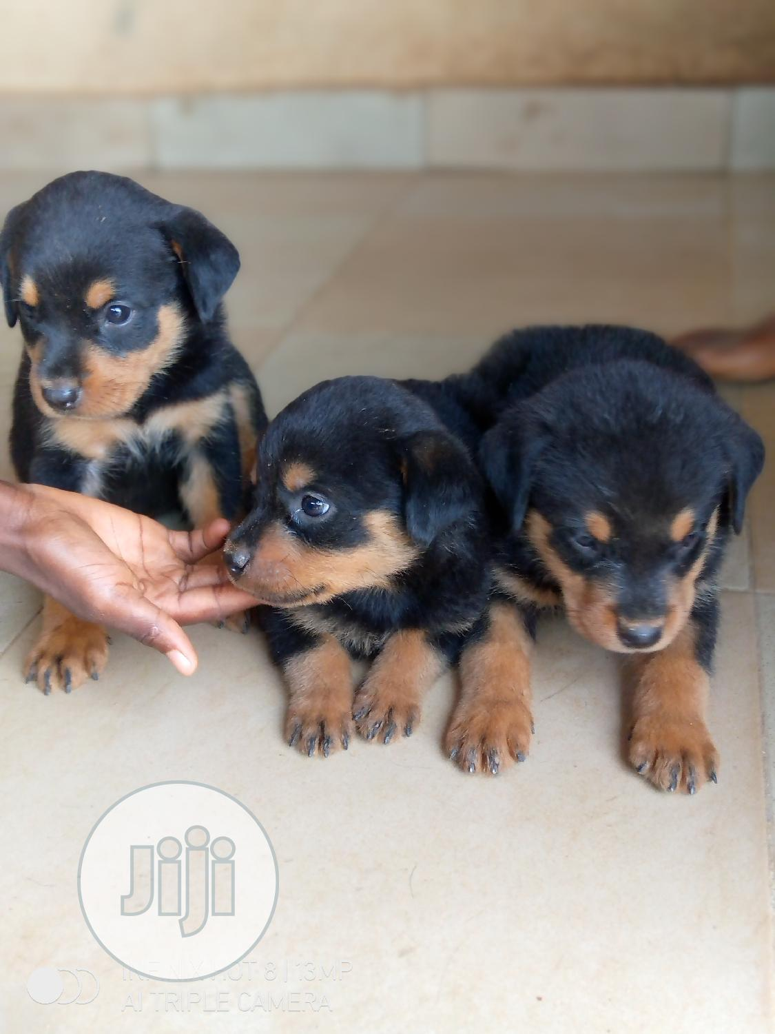 1-3 month Male Purebred Rottweiler | Dogs & Puppies for sale in Ilorin South, Kwara State, Nigeria