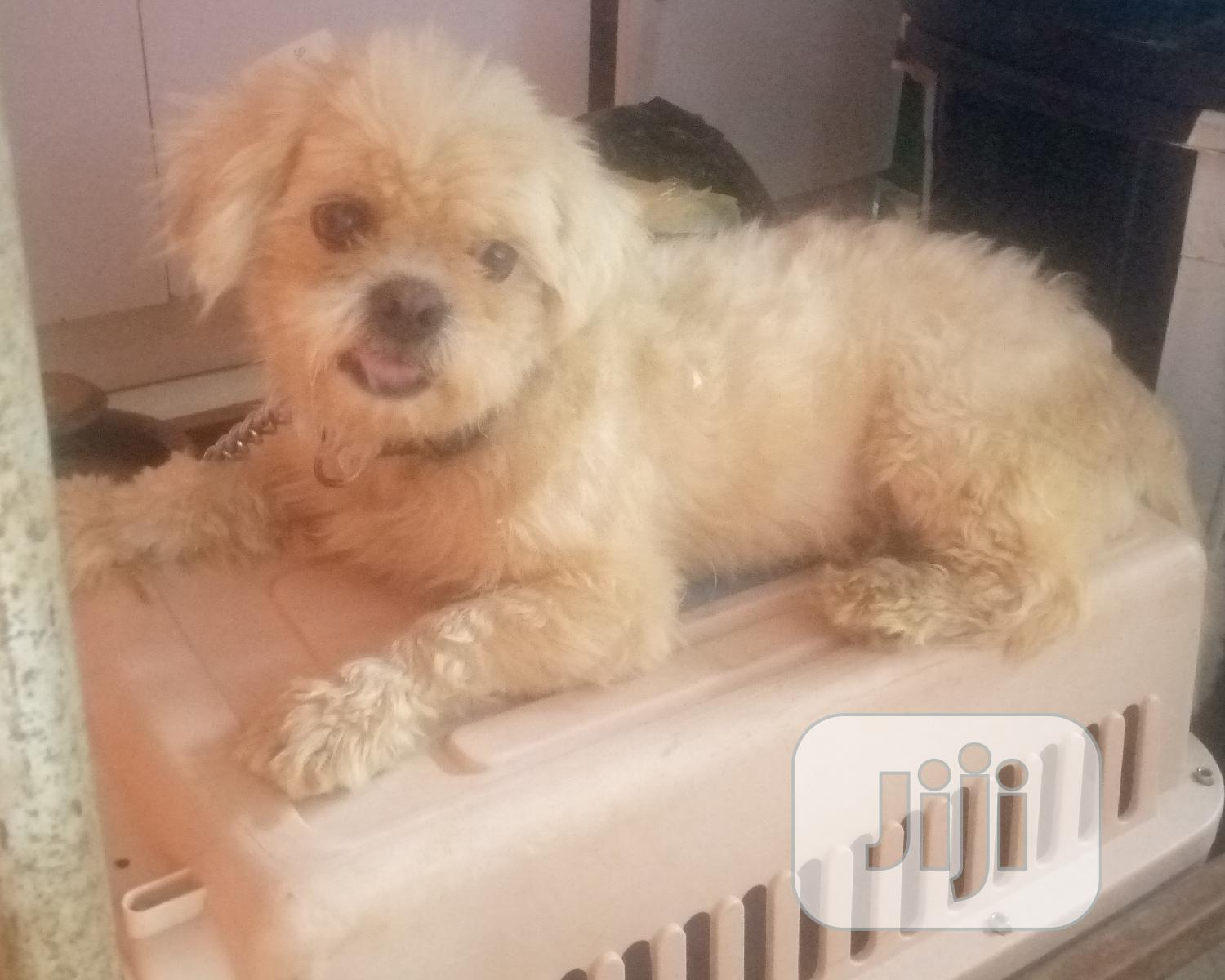 Adult Male Shih Tzu Available for Mating Stud Services   Pet Services for sale in Ifako-Ijaiye, Lagos State, Nigeria